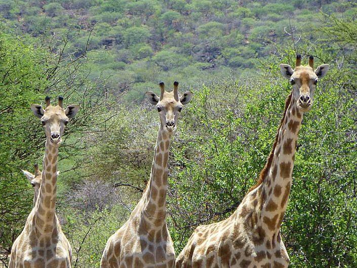 Wunderschöne Giraffen. Diese Langhälse finden Sie auf hrer Reise nach Namibia.Giraffen