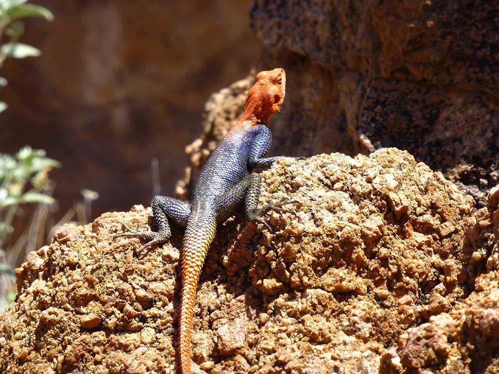 Echsen in Namibia. Wunderschöne Farben.