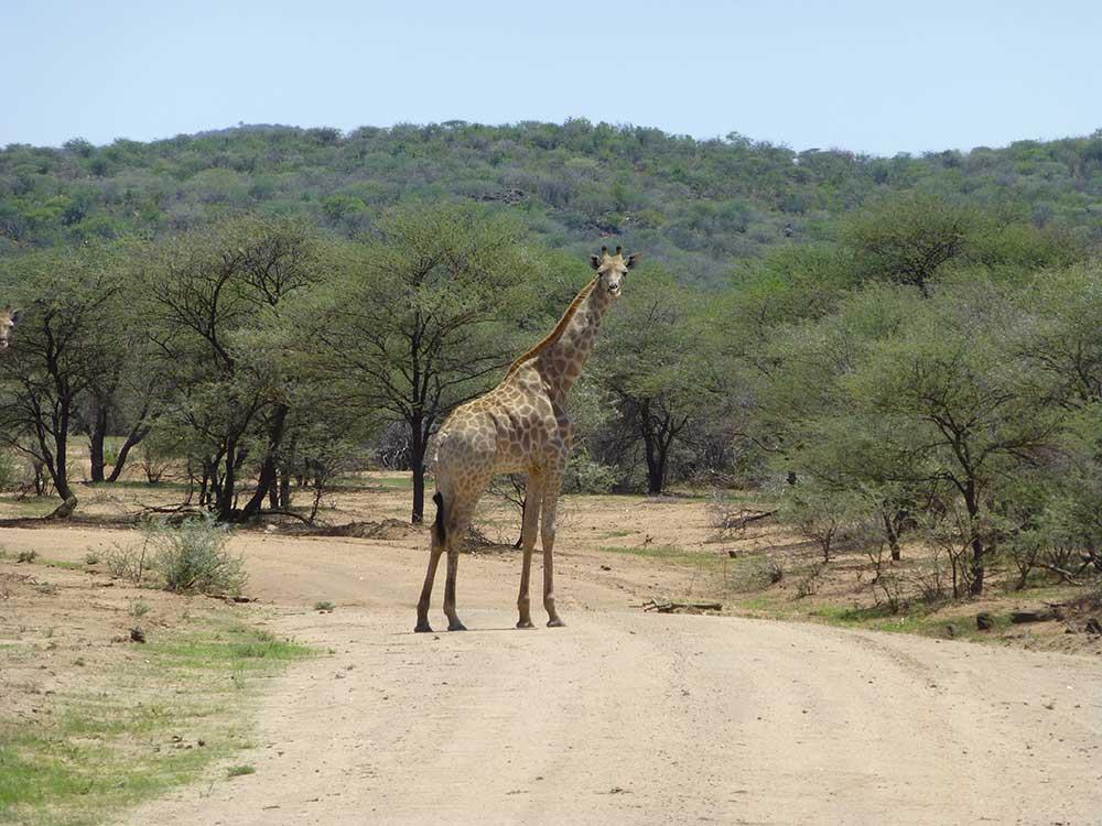 Giraffen in Namibia immer ein Erlebnis.
