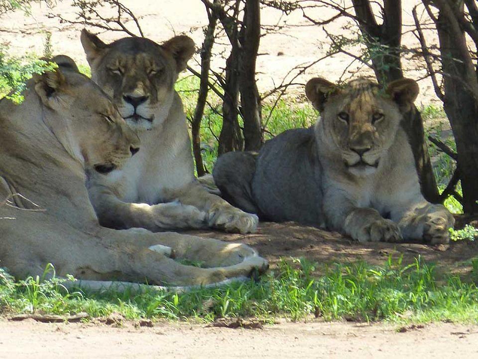 Löwen dösen im Schatten gesehen in Erindi Old Traders Lodge.Löwen dösen im Schatten