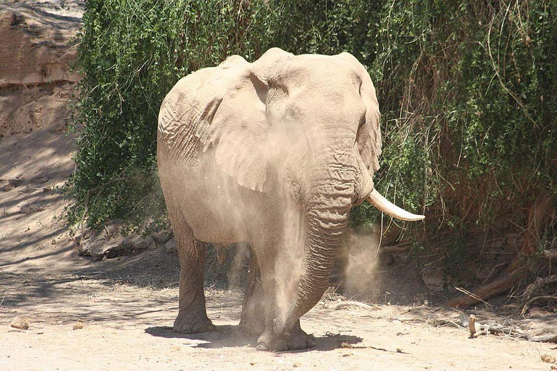 Die Wüstenelefanten in Namibia.