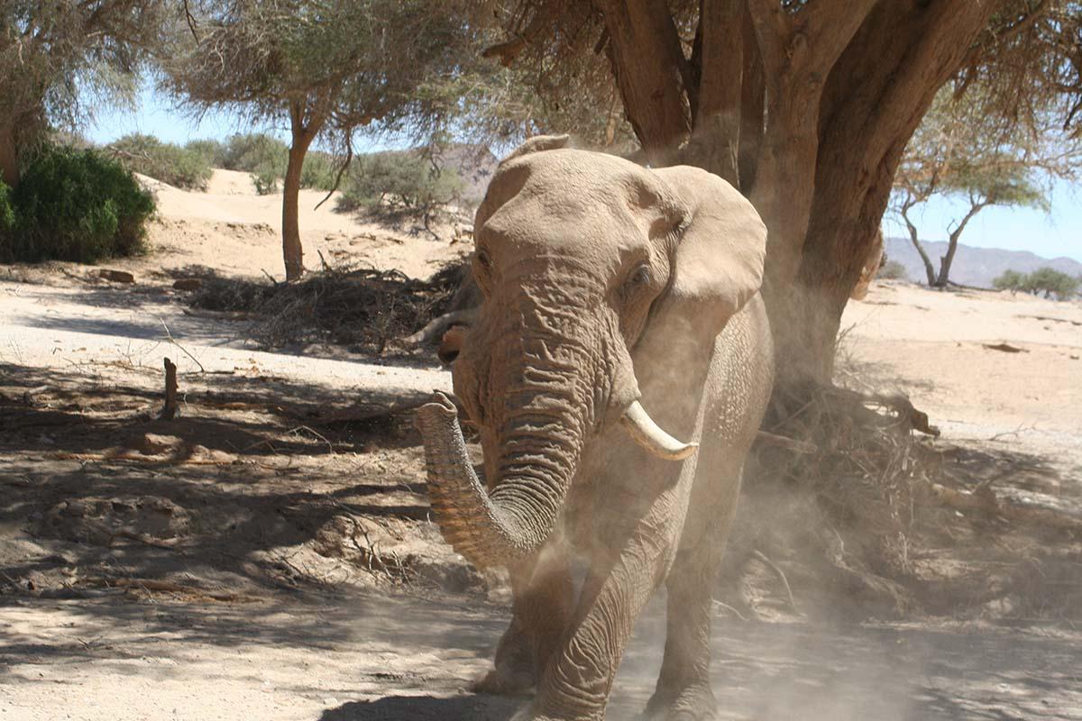 Erleben Sie die wunderbaren und imposanten Wüstenelefanten.