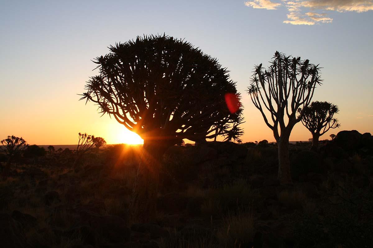 Köcherbaumwald im Sonnenuntergang.