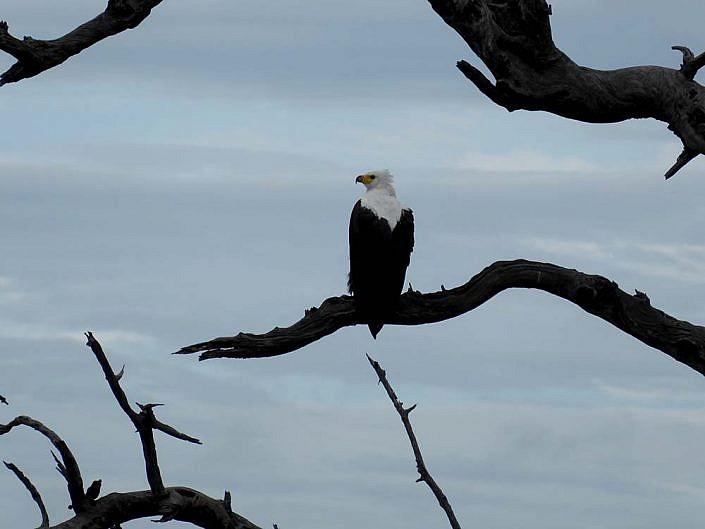 Fischadler. Chobe Botswana.