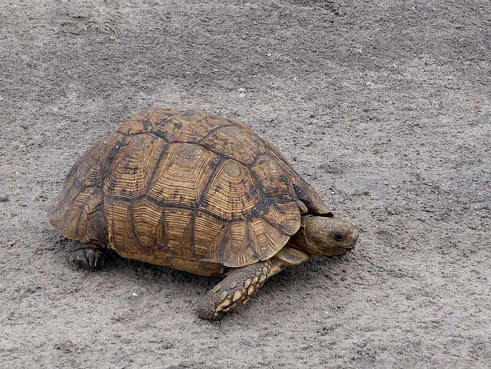 Einsame Schildkröte auf der Pad.