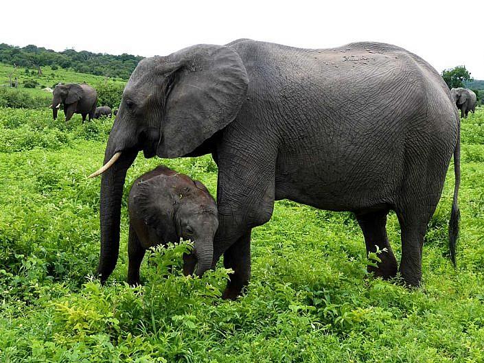 Elefanten im Chobe. Botswana.