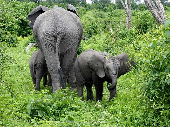 Elefanten in Botswana.