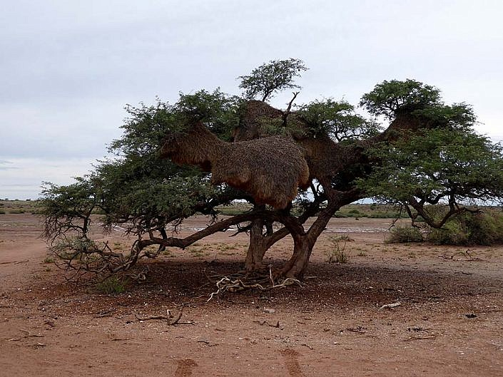 Webervogelnest. Kalahari.