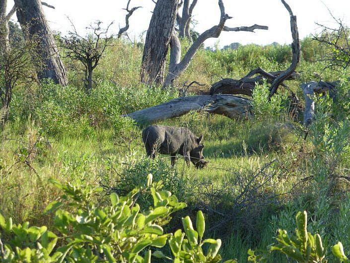Warzenschwein im Okavango Delta
