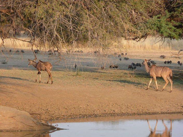 Kudus an der Wasserstelle. Namibia