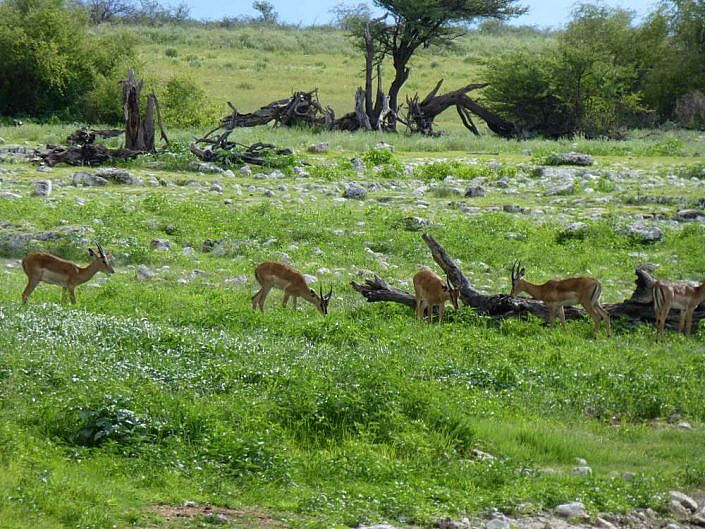 Januar in der Etosha Pfanne. Namibia