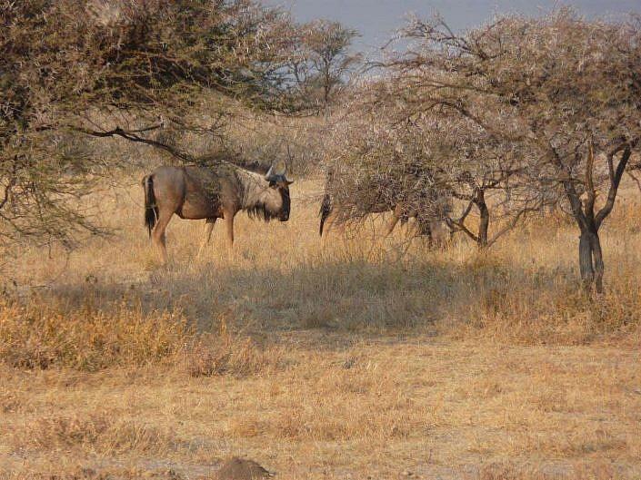 Gnus. Etosha Namibia.