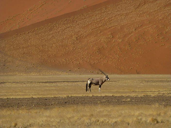 Oryx vor den Dünen.