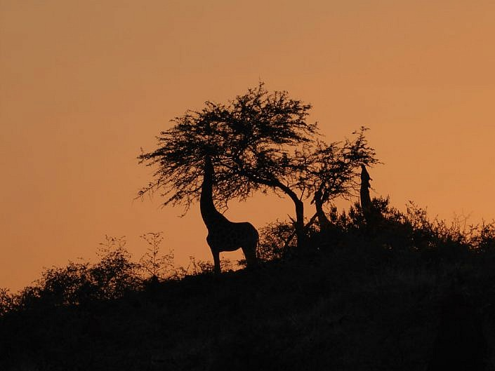 Giraffen am Waterberg
