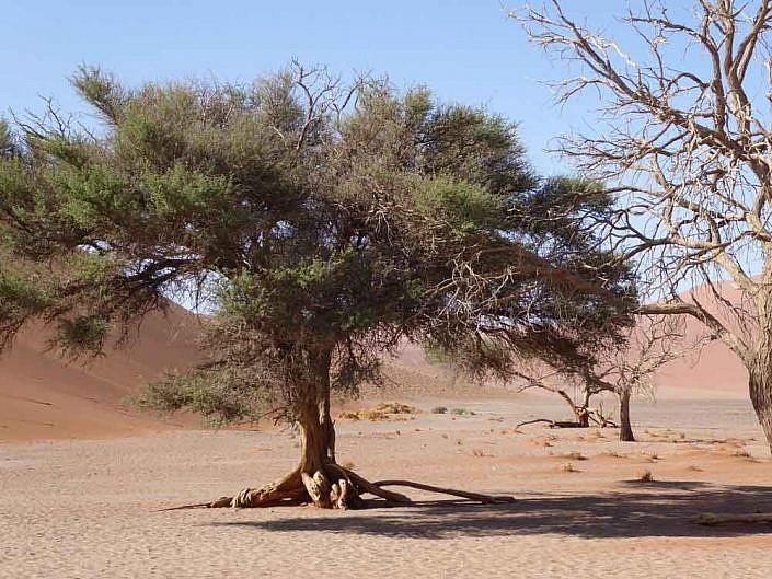 Es wachsen trotz Trockenheit Bäume in der Deadvlei.