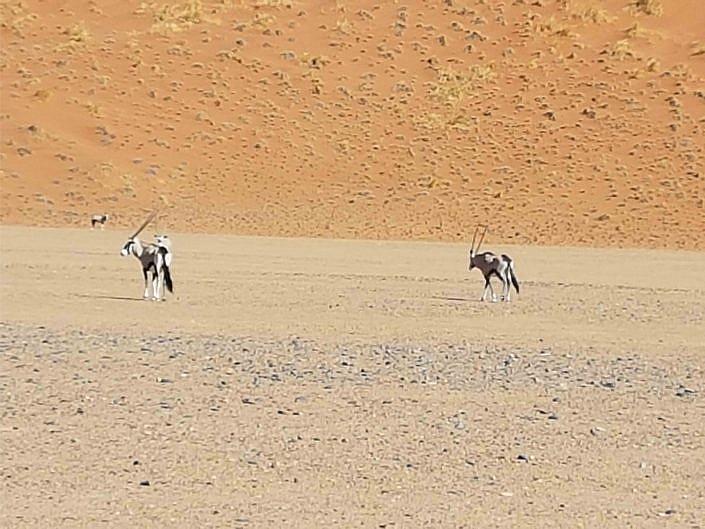 Oryx Antilope vor den Dünen in der Sossusvlei.